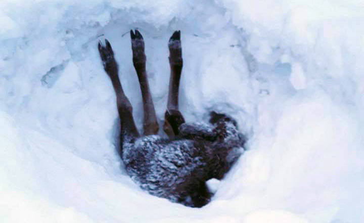 A moose calf got stuck upside down in the snow. A Vanderhoof logging truck driver managed to pull him out. Contributed photo