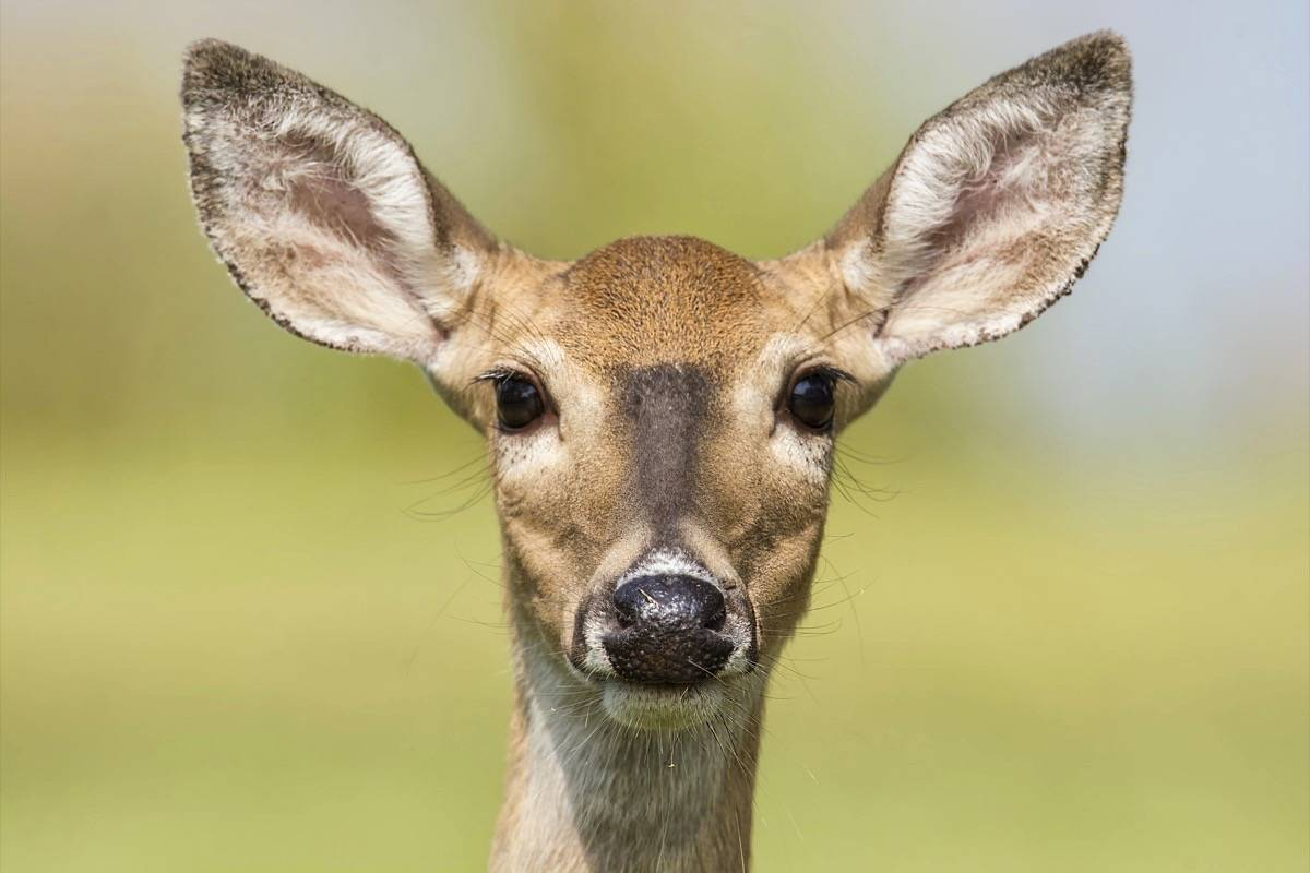 Vancouver Island woman pinned by deer Friday morning