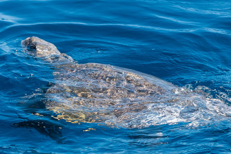 HMCS Edmonton rescues two sea turtles tangled in fishing lines in the space of 90 minutes. (CAF Operations/Twitter)