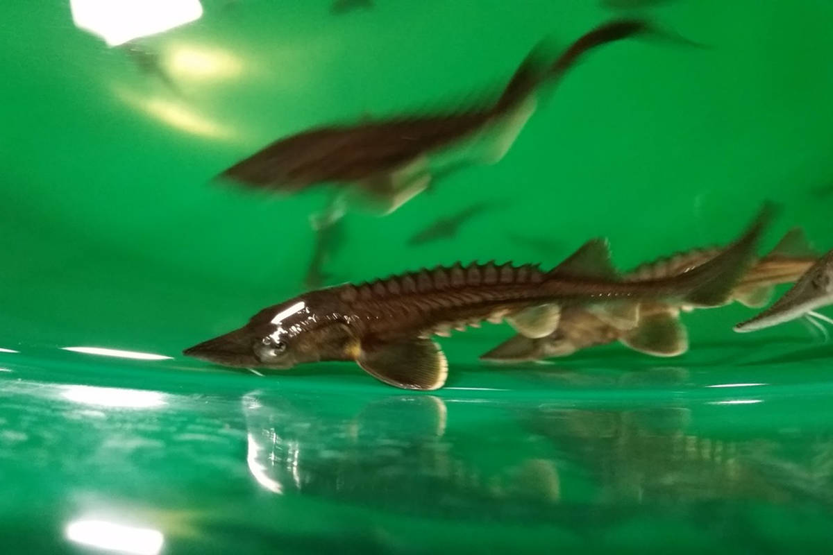 Healthy juvenile white sturgeon at the Nechako White Sturgeon Recovery Initiative's hatchery in Vanderhoof. The young sturgeon are being preyed upon by otters in the Nechako watershed. Nechako White Sturgeon Recovery Initiative photo