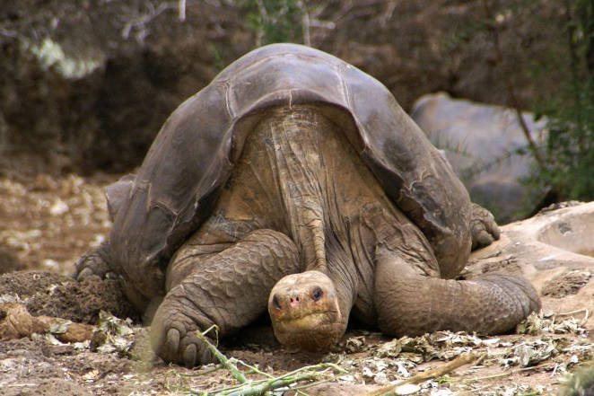 Lonesome George was the famed last representative of a giant tortoise species once found on the Galapagos island of Pinta. Image credit: Mark Putney