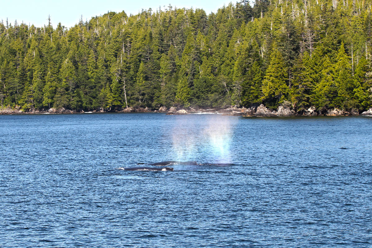 Rainbow spray from two humpback whales in Work Channel, British Columbia. (Shannon Lough / The Northern View)