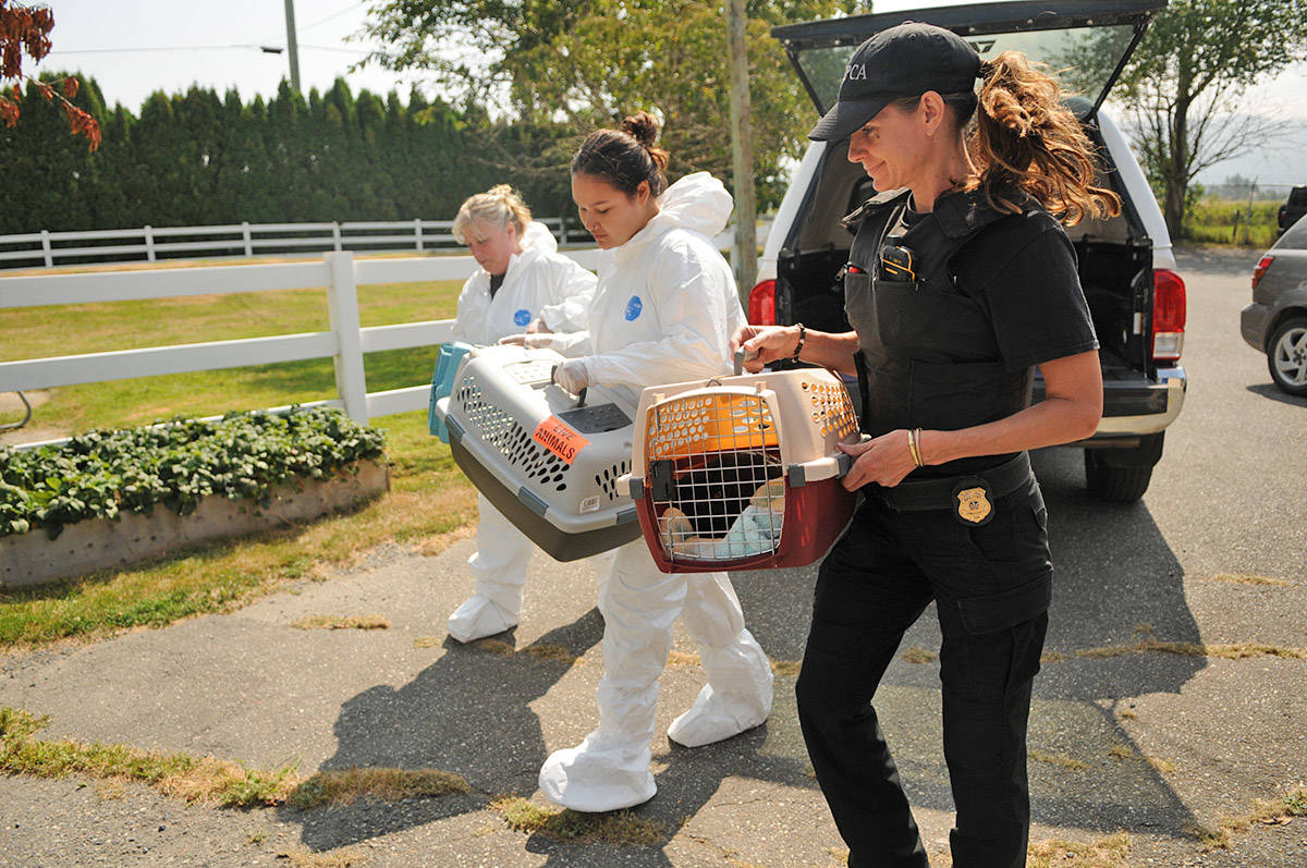 From left, Kimberly Berry, Stephany Davidson and Christine Carey bring cats in to the Chilliwack SPCA on Aug. 8, 2019. The cats were some of 136 surrendered from a cat hoarder in Maple Ridge. (Jenna Hauck/ The Progress)