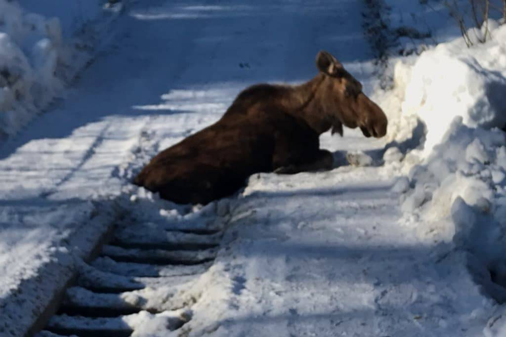 A moose got stuck in a bridge off of Trepanier Bench Road in Peachland on Monday, Feb. 3. (Contributed)