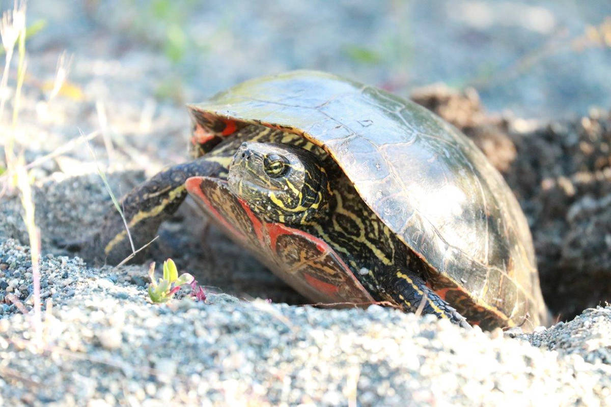 A western painted turtle is spotted nesting at Buttertubs Marsh, Nanaimo. (Warren Cronan photo)