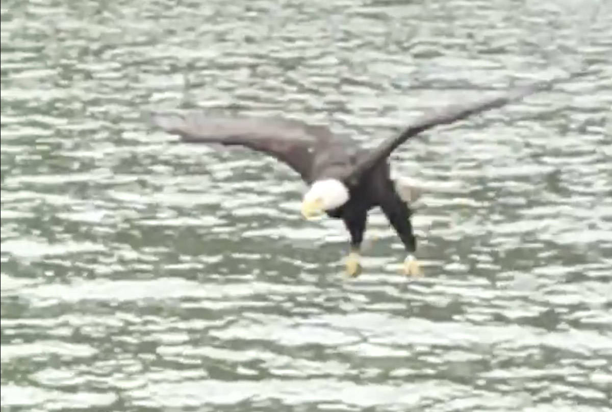 In July 2020, Musqueam Chief Wayne Sparrow captured a slow-motion video of an eagle fishing for its next meal near Bowen Island. (Screenshot of video)