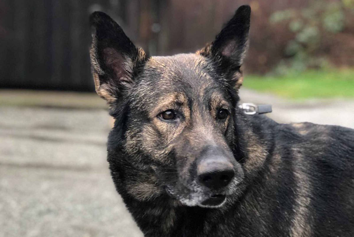 Police service dog Herc helped RCMP locate and arrest suspects in the Ladysmith area on Oct. 23, 2020, related to a stolen vehicle. (Submitted)