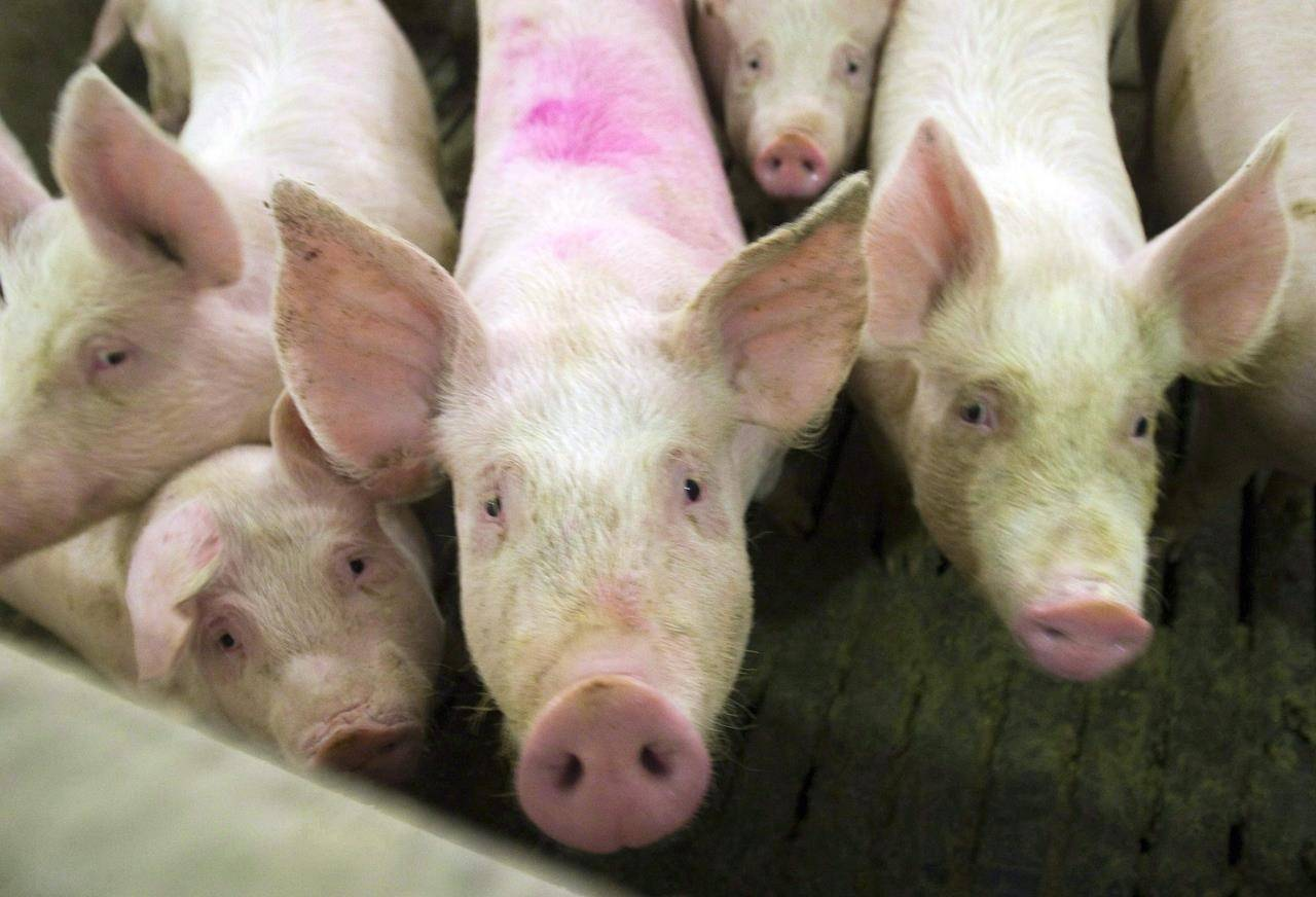 Pigs are seen in this file photo from April, 2009. An infectious disease expert at the University of Alberta says it's shocking to hear about Canada's first human case of a rare swine flu variant, but she expects it's likely a one-off situation.THE CANADIAN PRESS/Ryan Remiorz