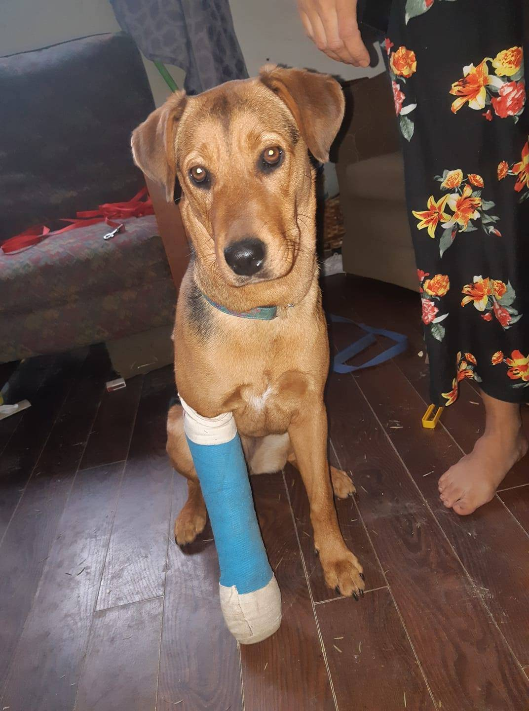 Bacon, an eight-month-old puppy, is in a splint after she was kicked by a random stranger on Christmas Day on Beecher Bay Reserve in East Sooke. (Facebook/Ronnie Marie Tejano)