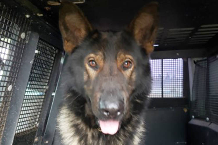 A suspect wanted on numerous outstanding warrants tried to outrun officers, but couldn't get away from police dog Luca in south Nanaimo on Thursday, Jan. 28. (Photo submitted)
