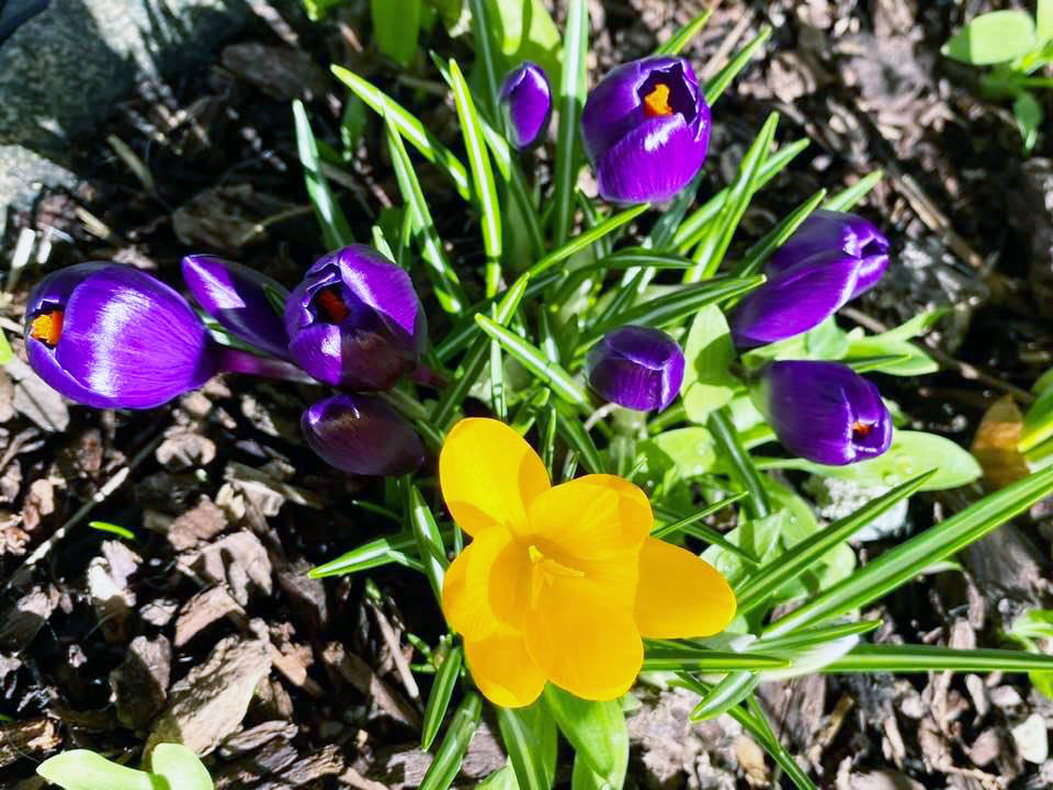 Beautiful flowers spring up on Thetis Island during February. (Photo by Kelly Bannister)