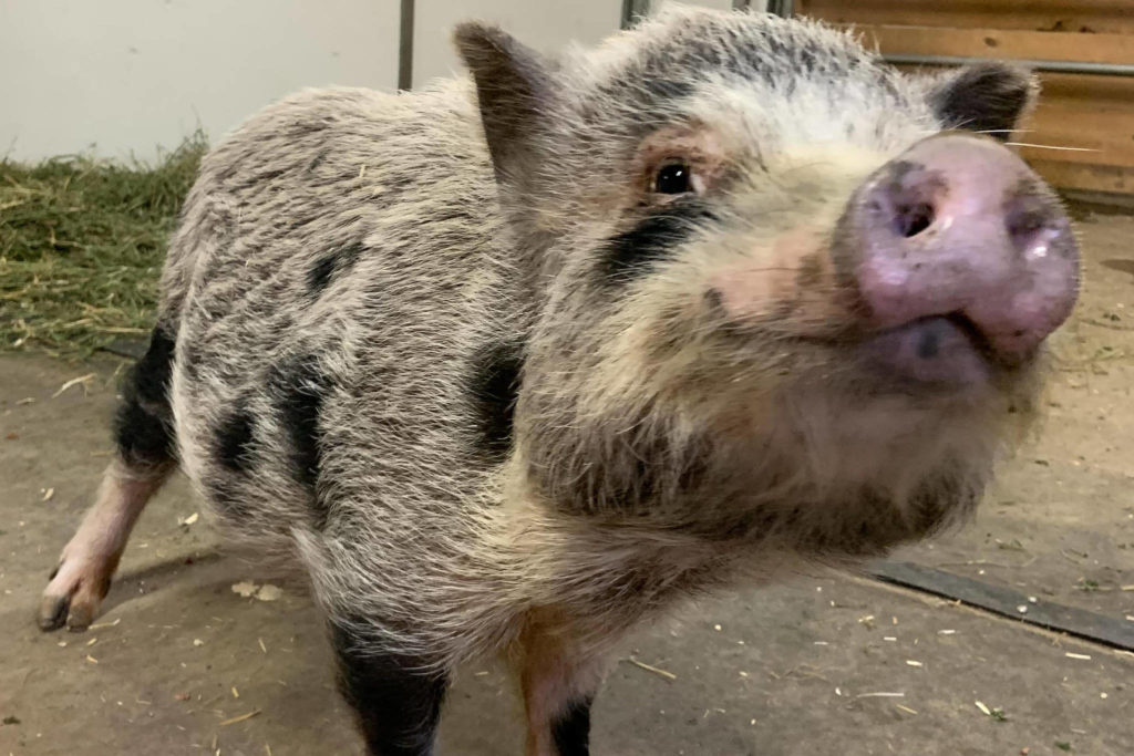 Marigold the pot-bellied pig was surrendered after a cruelty investigation in Chilliwack. (Contributed file photo)