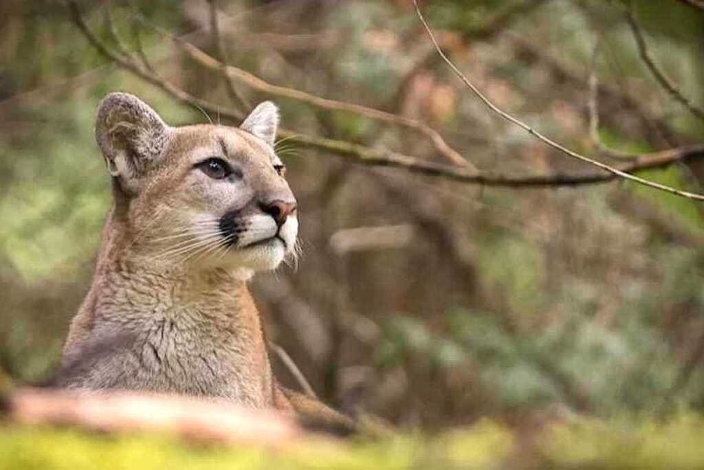 Michael Handley spent two hours taking pictures of this cougar, who didn't mind his company. Photo: Michael Handley
