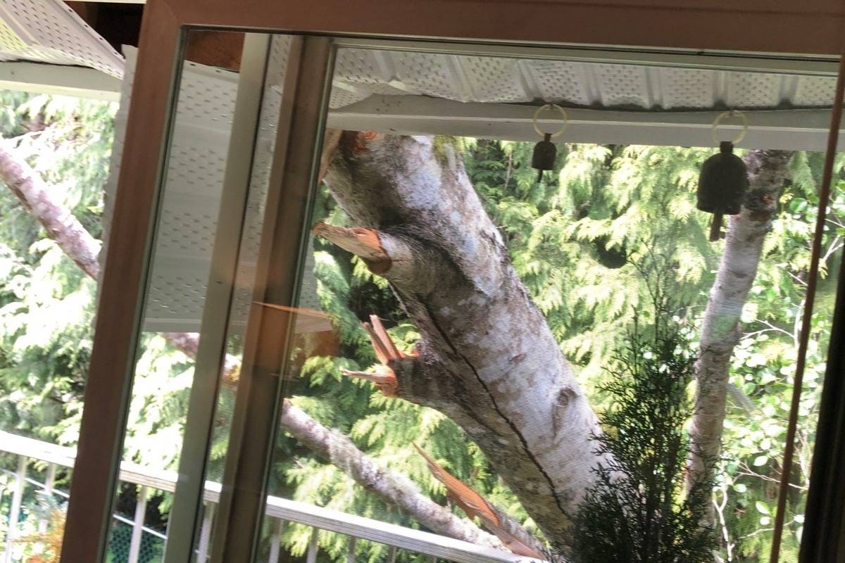 The roof bore the impact of the tree that fell on a townhome in Qualicum Beach on May 18. (Michael Briones photo)