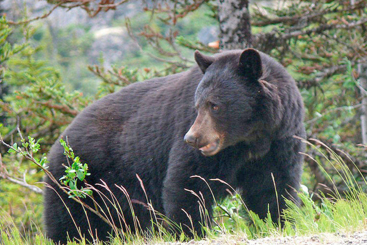 Black Bear activity is picking up in Tofino and Ucluelet. (Westerly file photo)