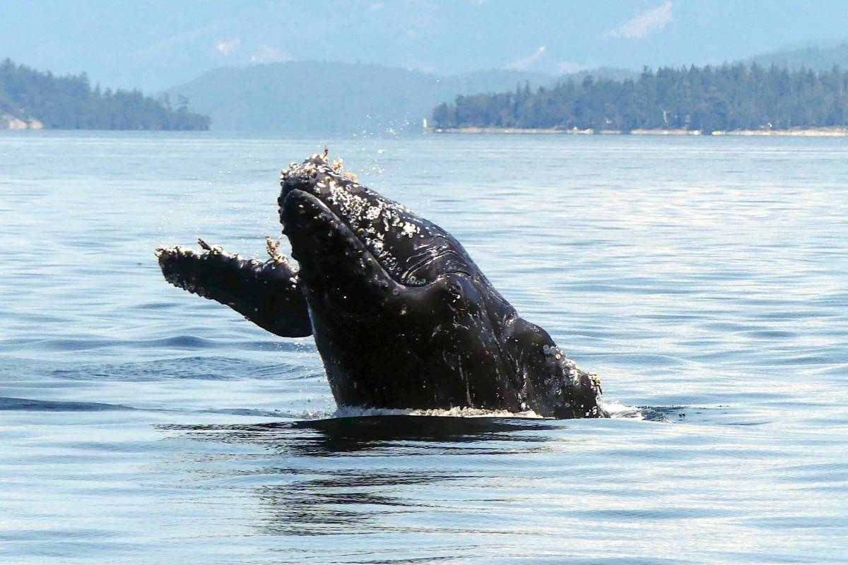 Halfpipe, the two-year-old humpback whale found dead on July 8. Photo courtesy Kaitlin Paquette.