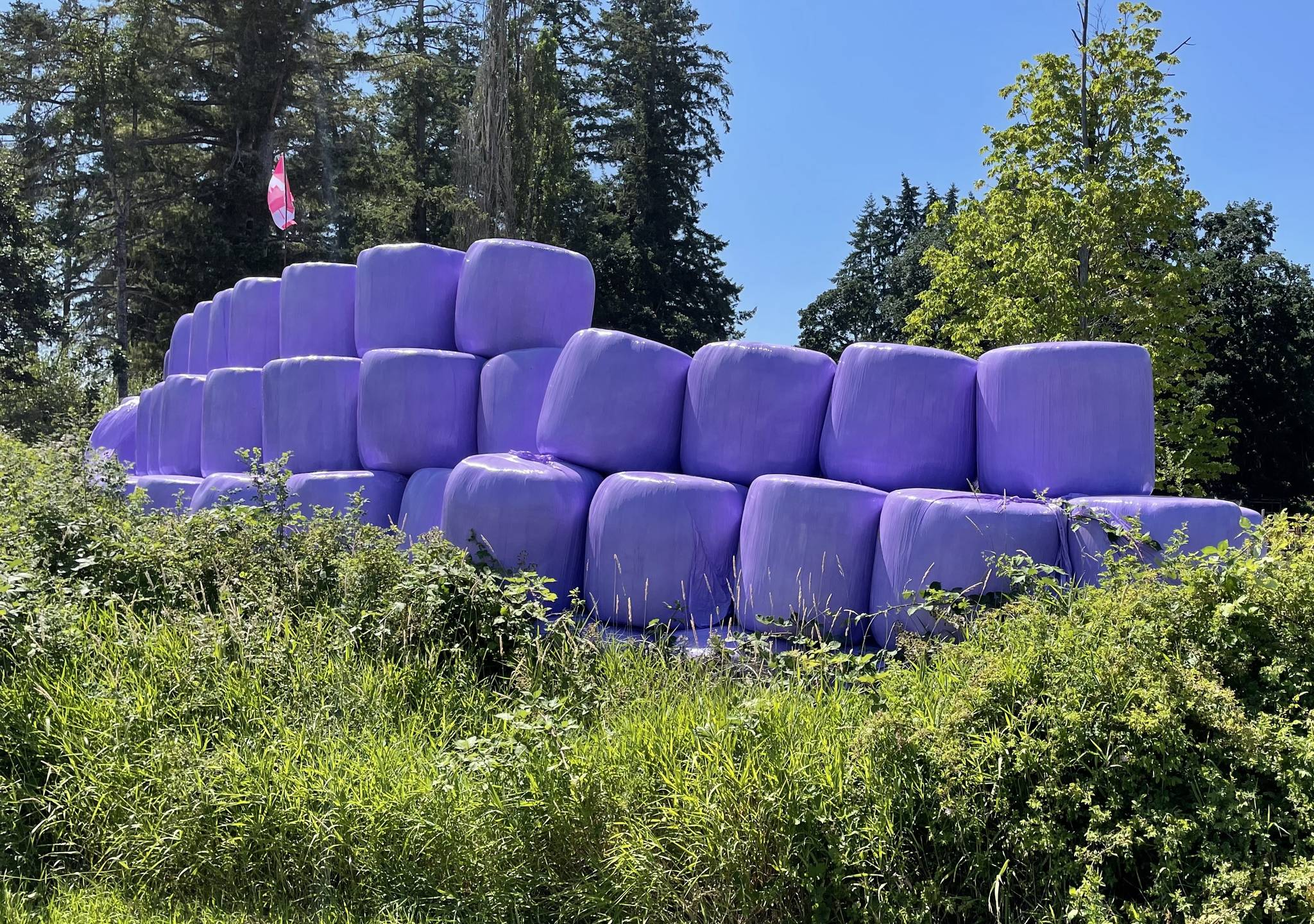 Purple hay bales are the colour of choice for many area farmers. When you see them you know that the farmer has paid extra to support of BC Children's Hospital. (Sidney Venier photo)