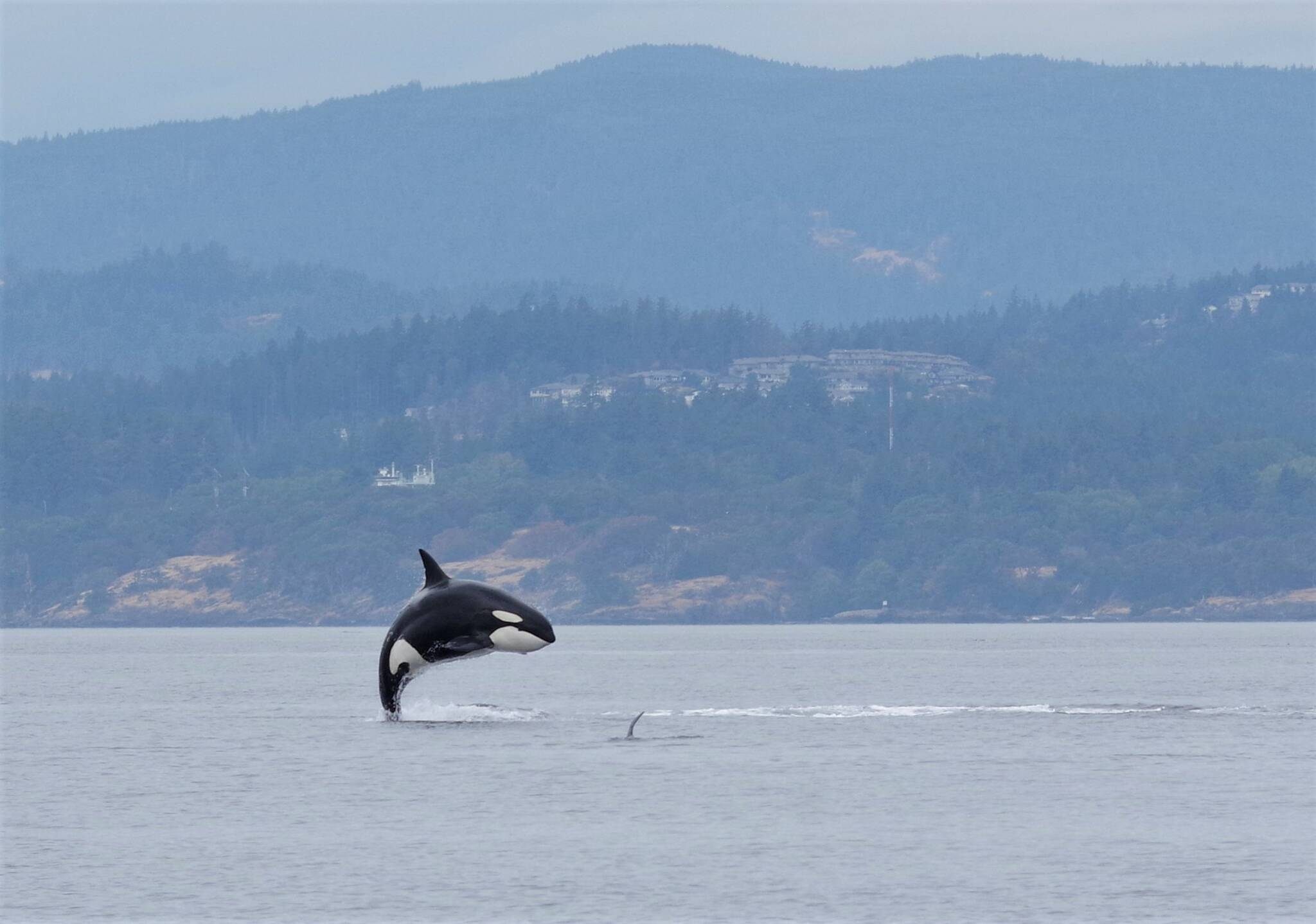 A Bigg's killer whale seemingly defying gravity near Victoria. (Photo by Paul Pudwell/Sooke Coastal Explorations)