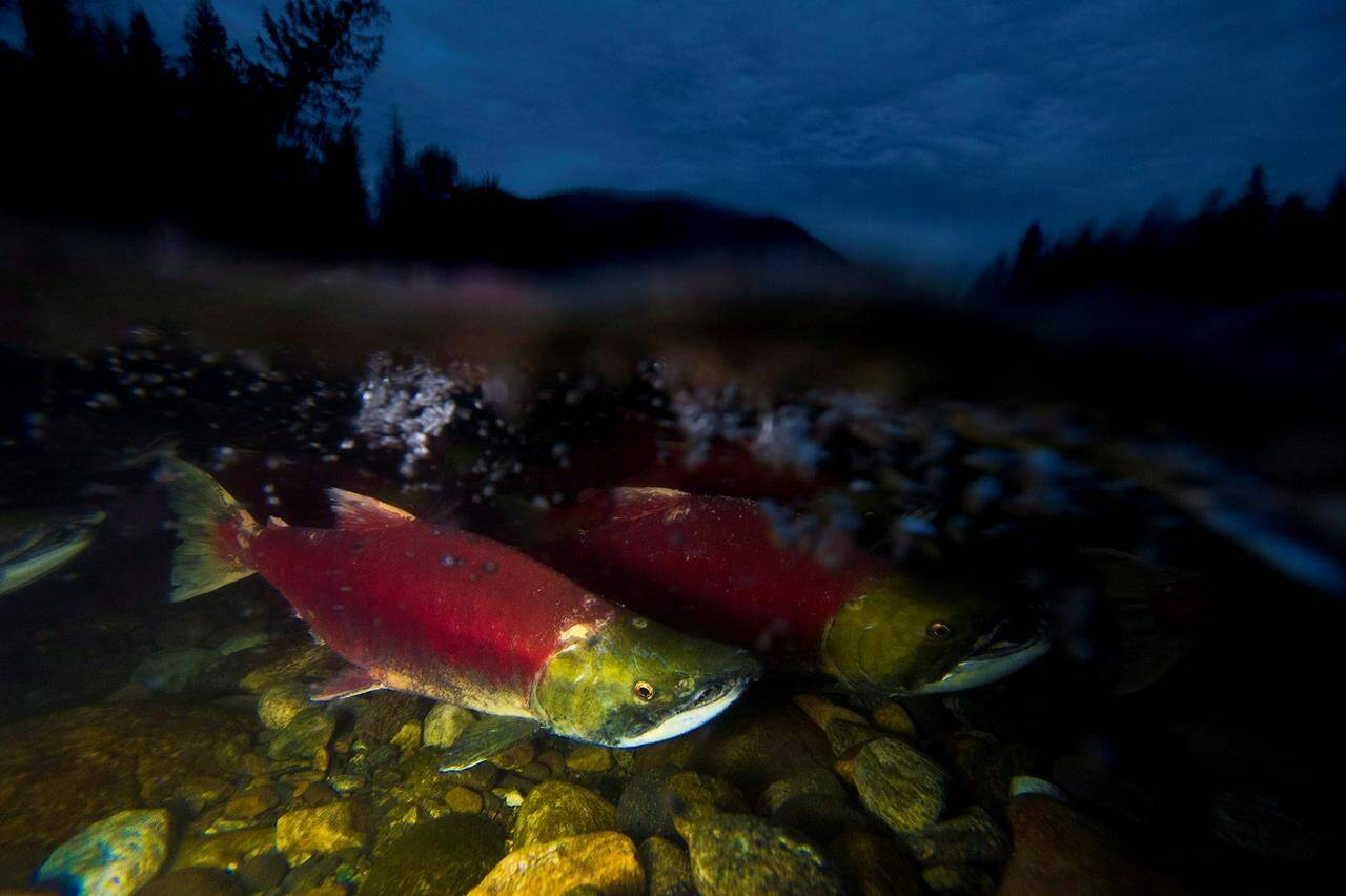 Spawning sockeye salmon are seen making their way up the Adams River in Roderick Haig-Brown Provincial Park near Chase, B.C. Monday, Oct. 13, 2014. THE CANADIAN PRESS/Jonathan Hayward